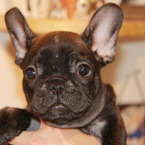 ID:FB492 French Bulldogのイメージ