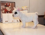 ID:FB490 French Bulldog