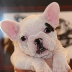 ID:FB490 French Bulldogのイメージ