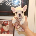 ID:FB487 French Bulldogのイメージ
