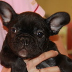 ID:FB493 French Bulldogのイメージ
