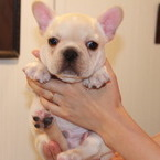 ID:FB494 French Bulldogのイメージ