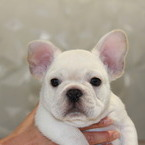 ID:FB495 French Bulldogのイメージ