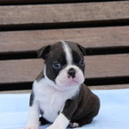 ID:BT109 Boston Terrier のイメージ