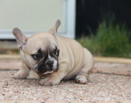 ID:FB498 French Bulldog