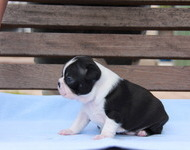 ID:BT112 Boston Terrier