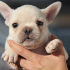 ID:FB504 French Bulldog のイメージ