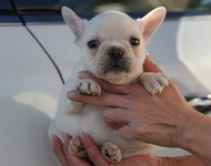 ID:FB504 French Bulldog