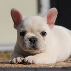 ID:FB503 French Bulldog のイメージ