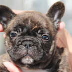 ID:FB500 French Bulldog のイメージ