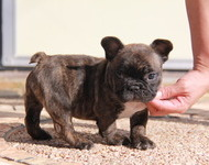 ID:FB500 French Bulldog