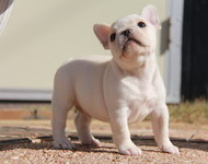 ID:FB499 French Bulldog