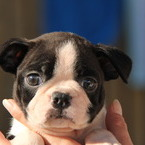 ID:BT115 Boston Terrier のイメージ