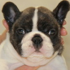 ID:FB506 French Bulldog のイメージ