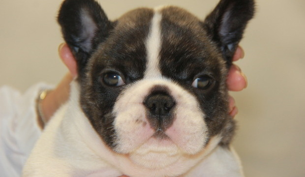 ID:FB506 French Bulldog