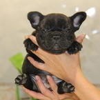 ID:FB505 French Bulldogのイメージ
