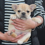 ID:FB523 French Bulldog のイメージ