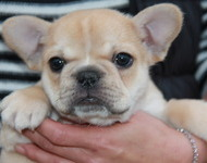 ID:FB523 French Bulldog