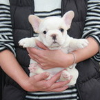 ID:FB520 French Bulldogのイメージ