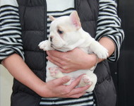 ID:FB520 French Bulldog