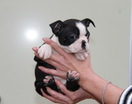 ID:BT117 Boston Terrier