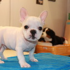 ID:FB509 French Bulldog のイメージ