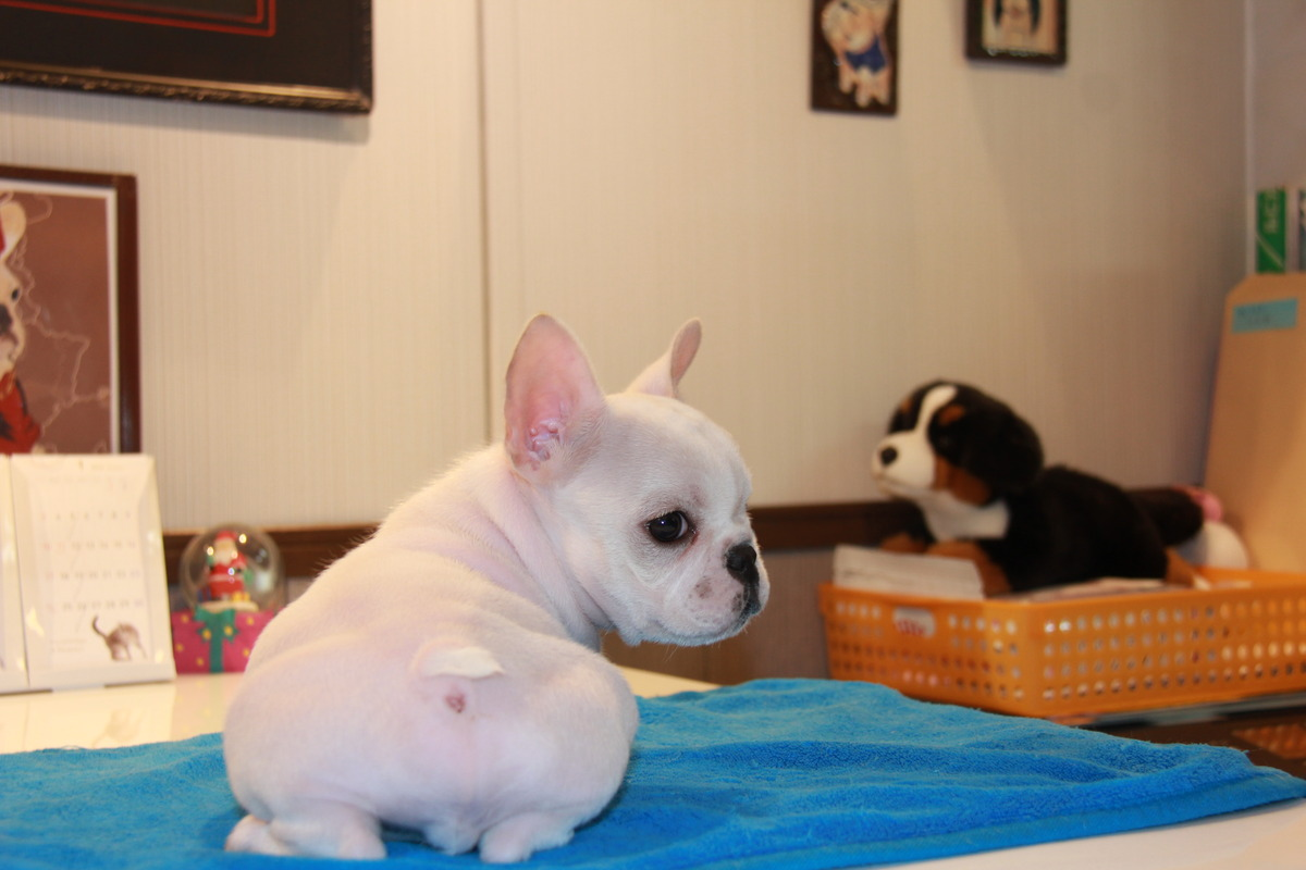 ID:FB509 French Bulldog