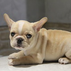 ID:FB516 French Bulldogのイメージ