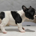 ID:FB514 French Bulldogのイメージ