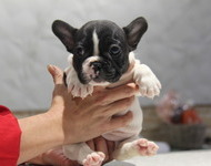 ID:FB514 French Bulldog