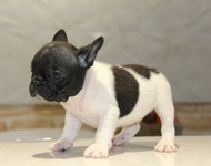 ID:FB513 French Bulldog