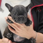 ID:FB512  French Bulldogのイメージ