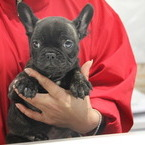 ID:FB517 French Bulldogのイメージ