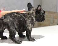 ID:FB517 French Bulldog