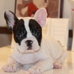 ID:FB491 French Bulldogのイメージ