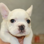 ID:FB511 French Bulldog のイメージ