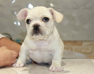 ID:FB510 French Bulldog