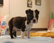 ID:BT118 Boston Terrier