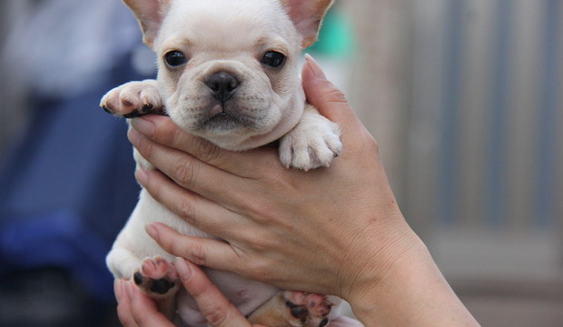 ID:FB463 French Bulldog
