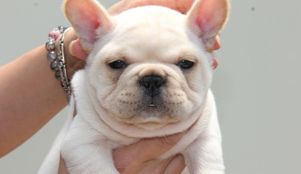 ID:FB458 French Bulldog
