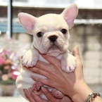 ID:FB437 French Bulldogのイメージ