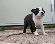 ID:BT94 Boston Terrier