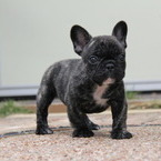 ID:FB465 French Bulldog のイメージ