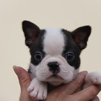 ID:BT96 Boston Terrier のイメージ