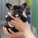 ID:FB466 French Bulldog のイメージ
