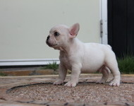 ID:FB467 French Bulldog