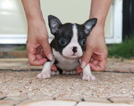 ID:BT97 Boston Terrier