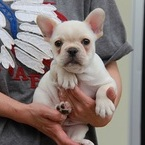 ID:FB445 French Bulldog のイメージ