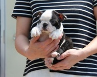 ID:BT88 Boston Terrier