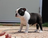 ID:BT87 Boston Terrier